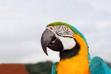 beautiful ara parrot