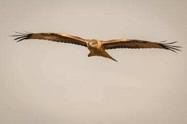 beautiful eagle in flight