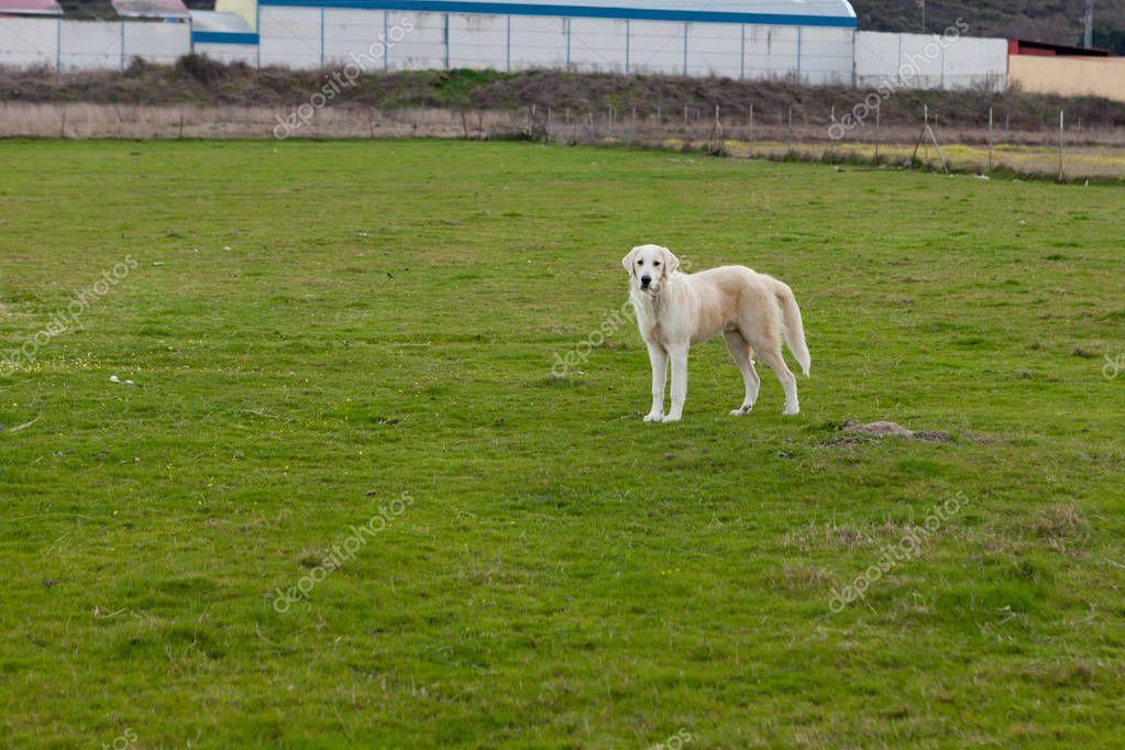 Labrador dog guarding farm