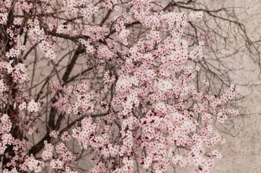 Almond tree full of flowers close up