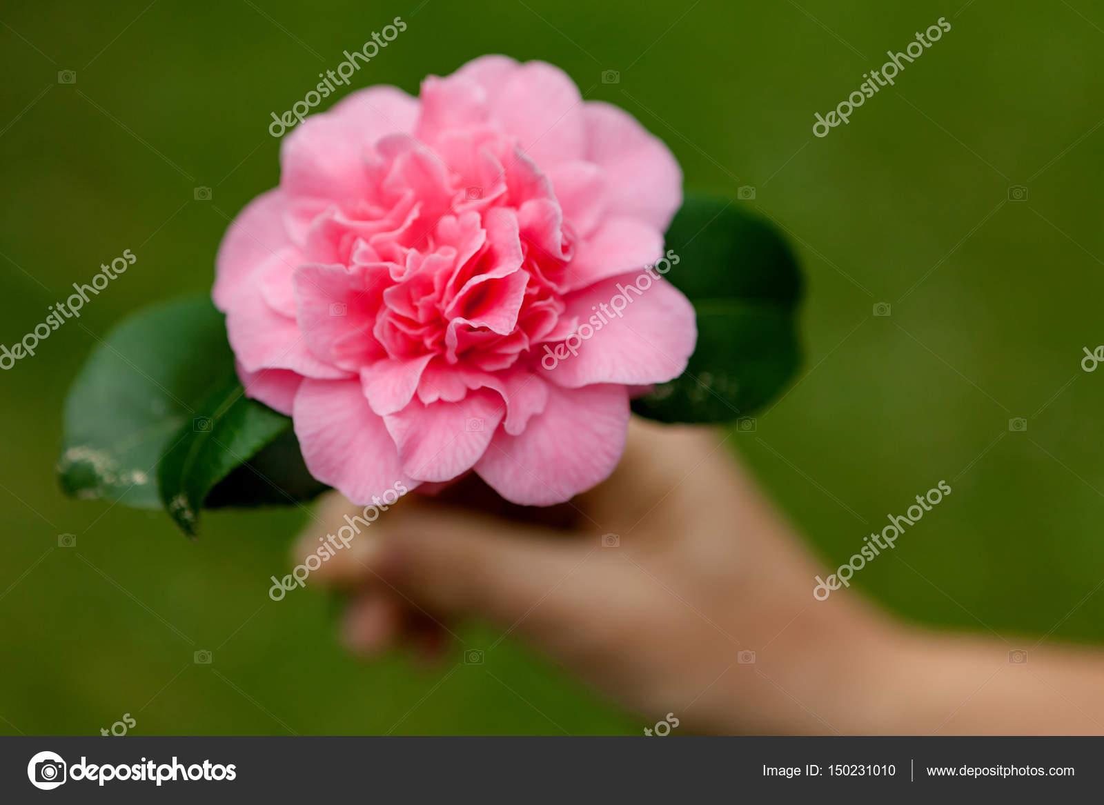 Beautiful Pink Camellia Flower Stock Photo Gelpi 150231010