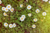 Fotografie Wild camomile flowers on green meadow