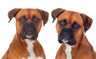 Two dogs of same breed