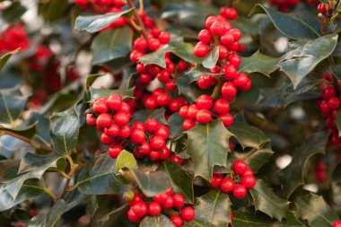 Branch with red berries