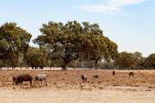 Ibériai sertés közelében oaks legeltetés