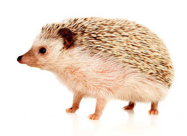 cute brown hedgehog isolated on white background