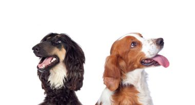 studio portrait of two cute different dogs isolated on white background