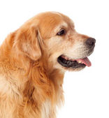 cute Golden Retriever dog  isolated on white background