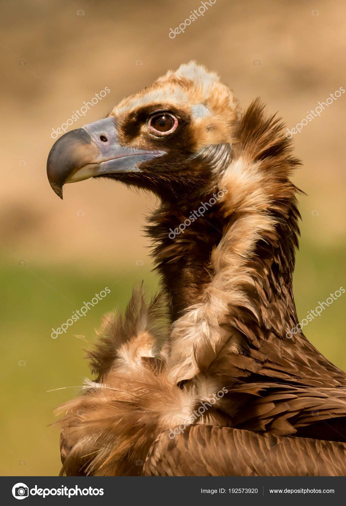 Μεγάλο μαύρο πουλί μεγάλο μαύρο λεία