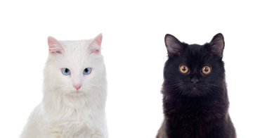 Black and white Persian cats with brown and blue eyes isolated on white background