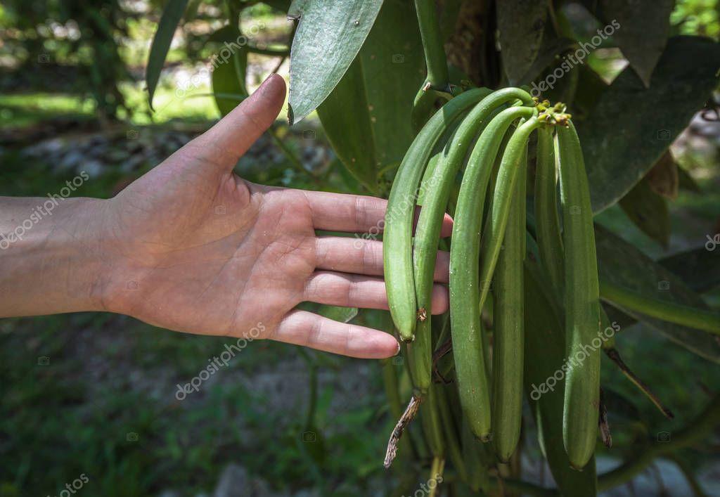 green pods of vanilla plant