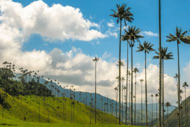 Wax palm trees of Cocora Valley