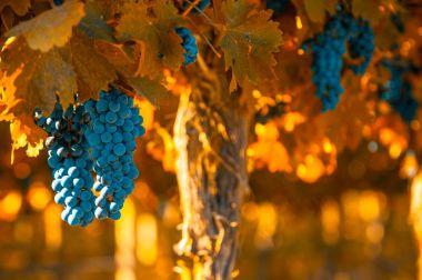grape bunch, shallow focus