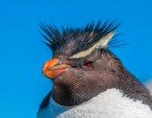 Rockhopper pingvin, Patagonia, Argentína