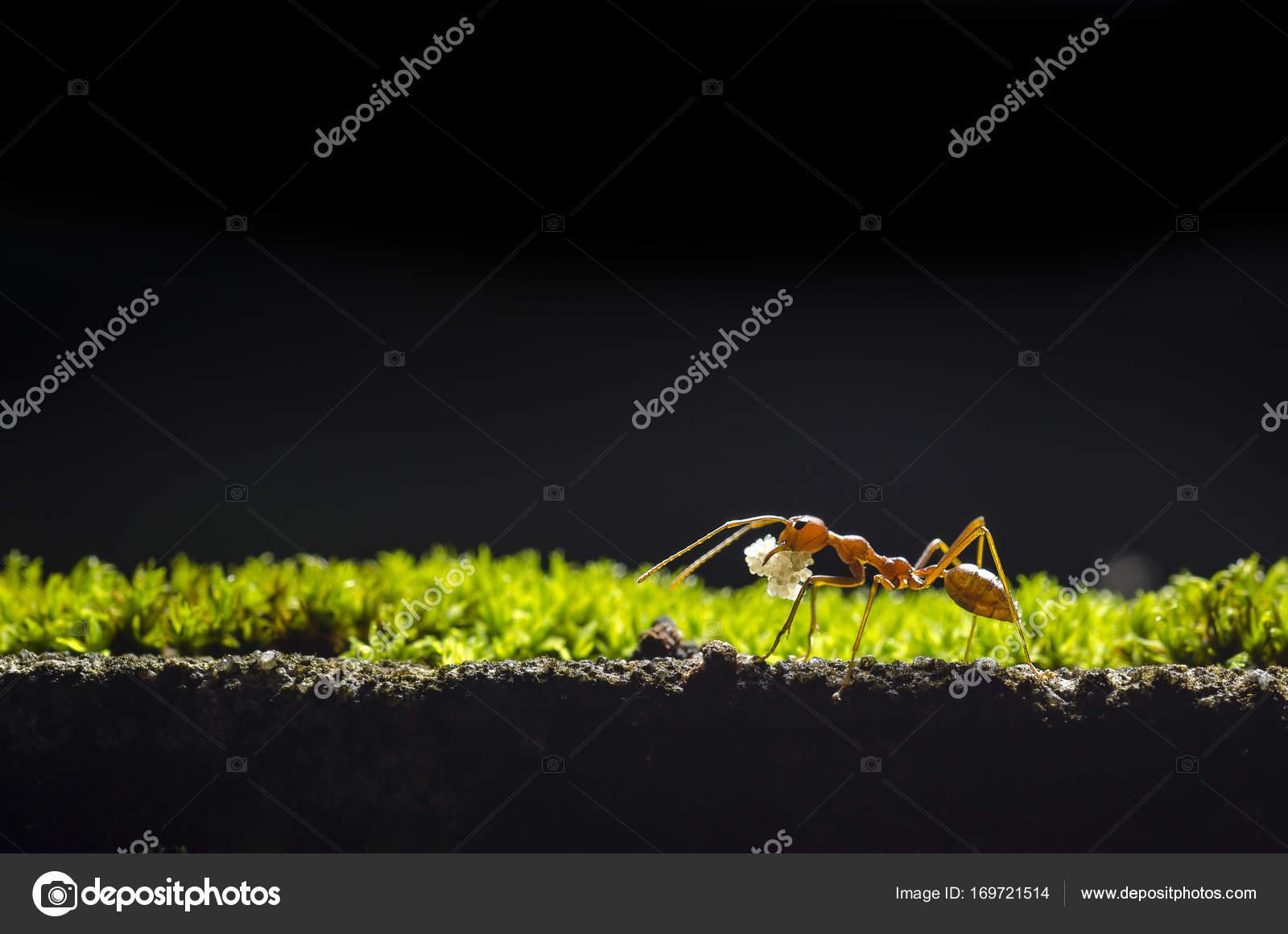 fourmi au pied