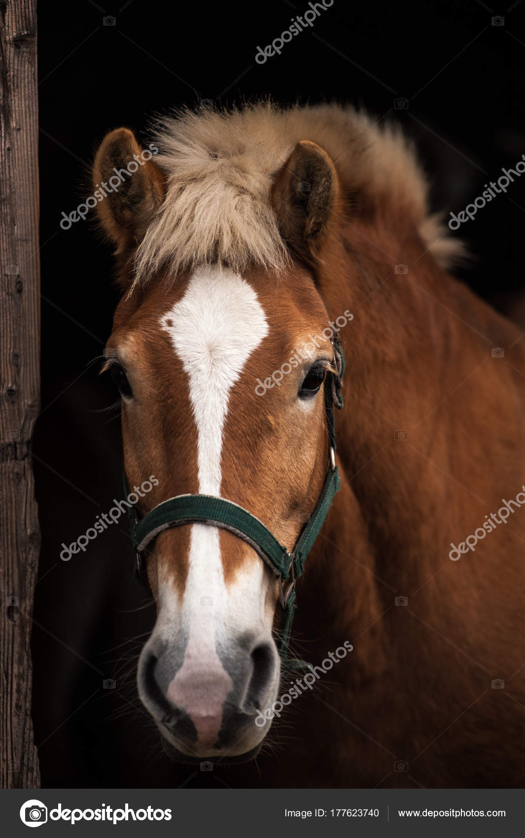 Cheval Tete portrait de cheval, tête — photographie stefanocarella © #177623740