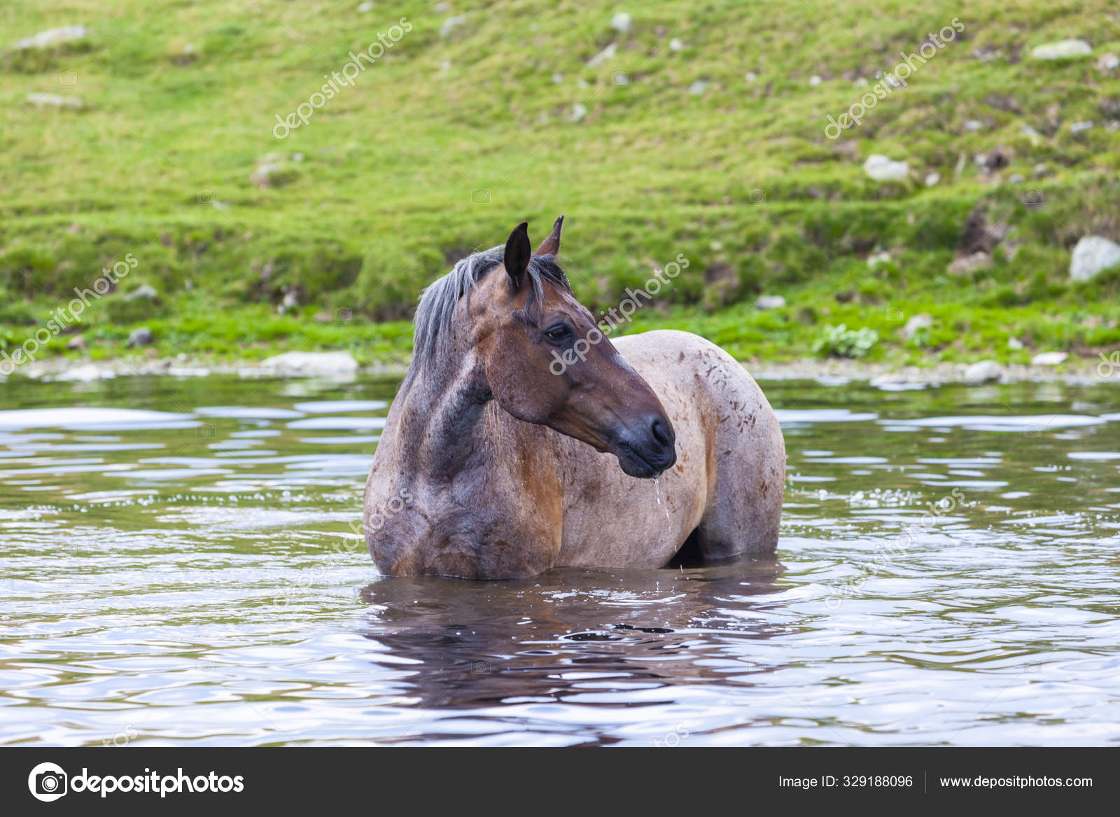 Beautiful Wild Horses Roaming Free Mountains Summer Stock Photo C Cta88 329188096