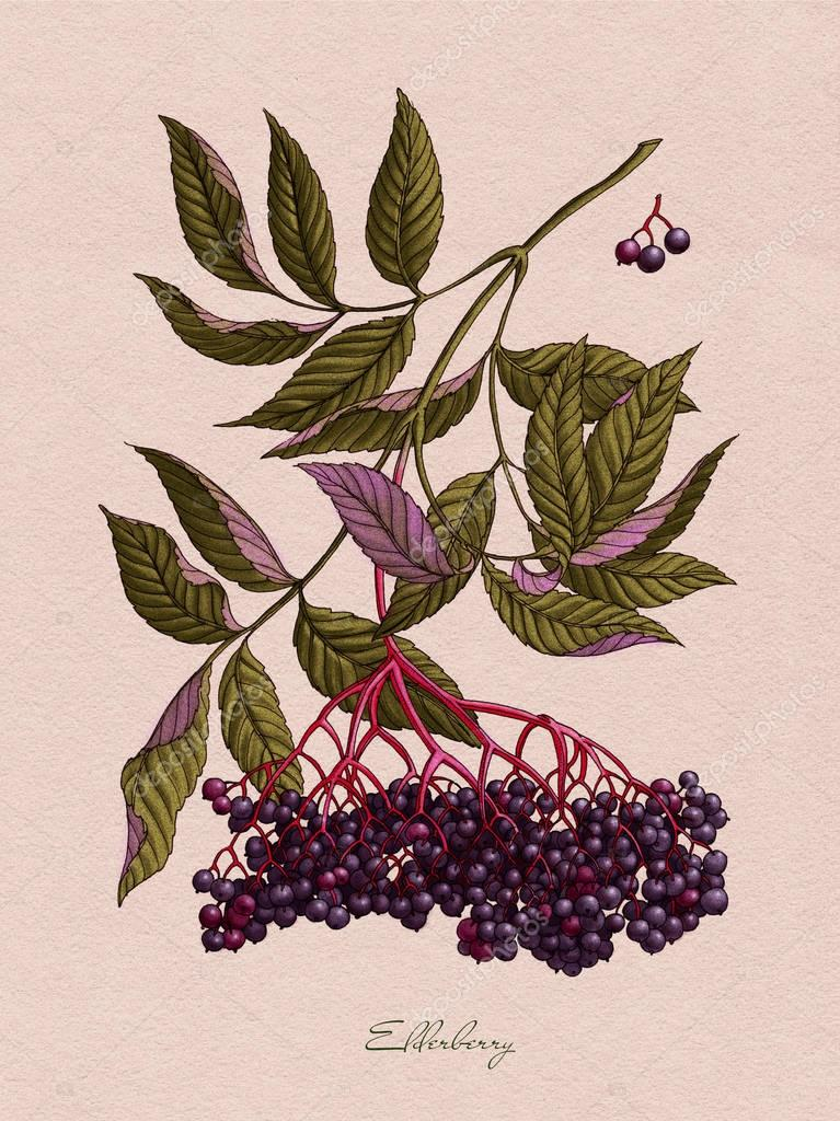 Elderberry watercolor botanical illustration