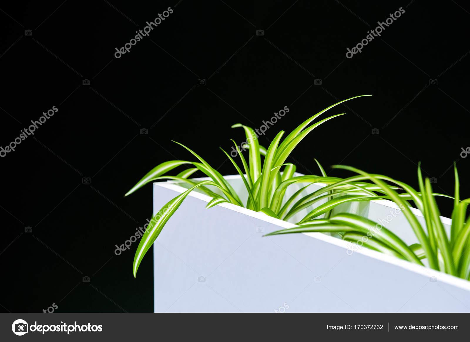 Büro grün Zimmerpflanze in einem weißen Topf auf einem schwarzen ...