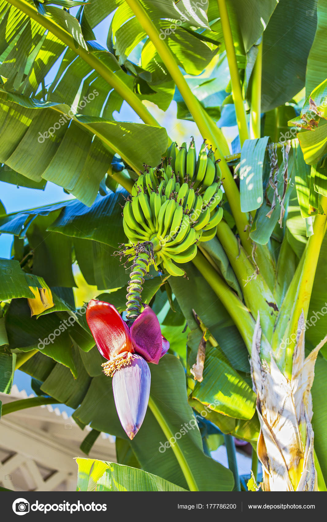 fleur de bananier et tas de bananes. fleur de banane rouge sur un