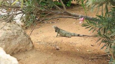 Cute lizard near green plant. Aruba Island. Amazing nature background.