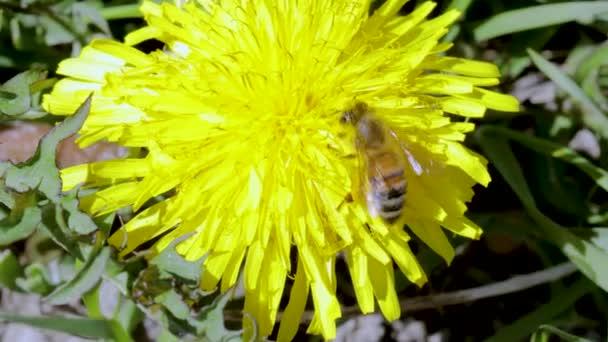 Pohled na včelu na izolované žluté pampelišce. Nádherné přírodní zázemí. Koncept přírodního hmyzu.