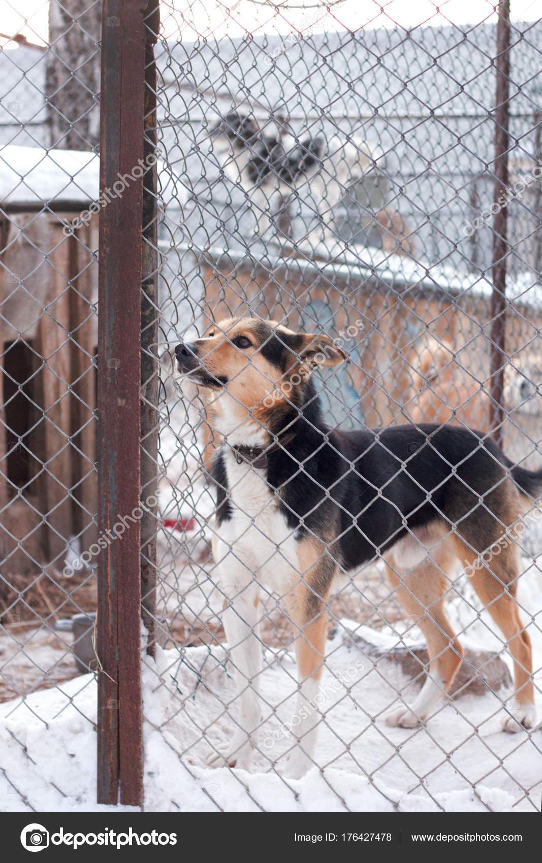 ad33398b3b1d Καταφύγιο σκύλων είναι ένα πανέμορφο σκυλί σε ένα καταφύγιο ζώων που  αναζητούν μέσα από τον φράχτη που αναρωτιούνται αν κάποιος πρόκειται να τον  πάρει σπίτι ...