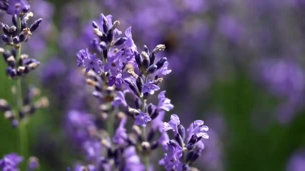 Lavender flower closeuo footage