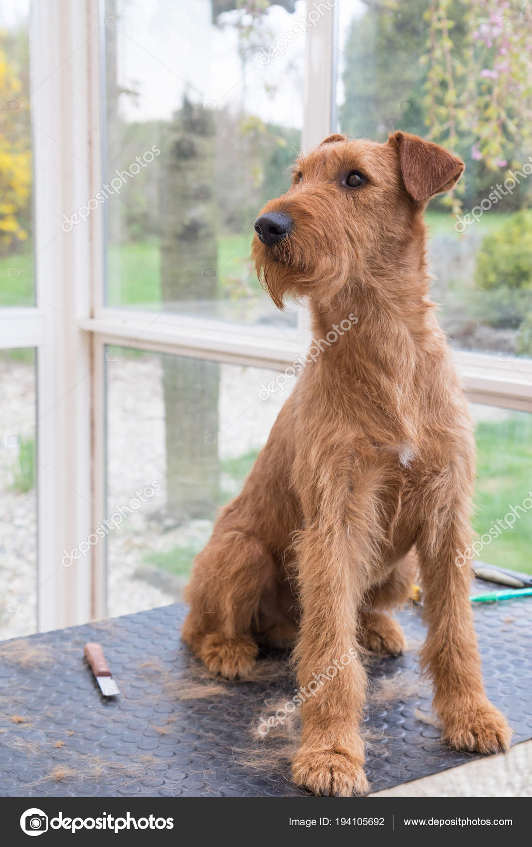 Portrait Of Groomed Irish Terrier Stock Photo Frank11 194105692