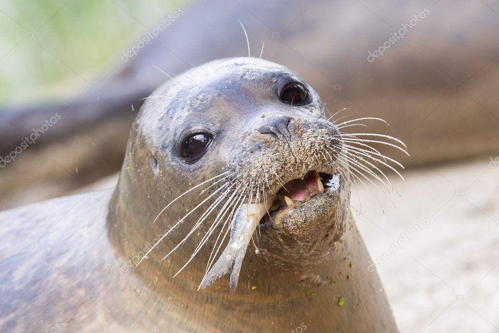 Closeup de lobo de mar, comer pescado — Fotos de Stock