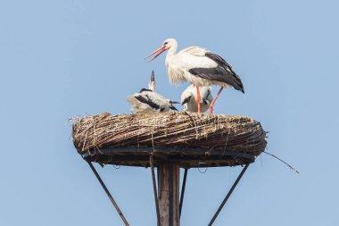 White stork sitting on a nest