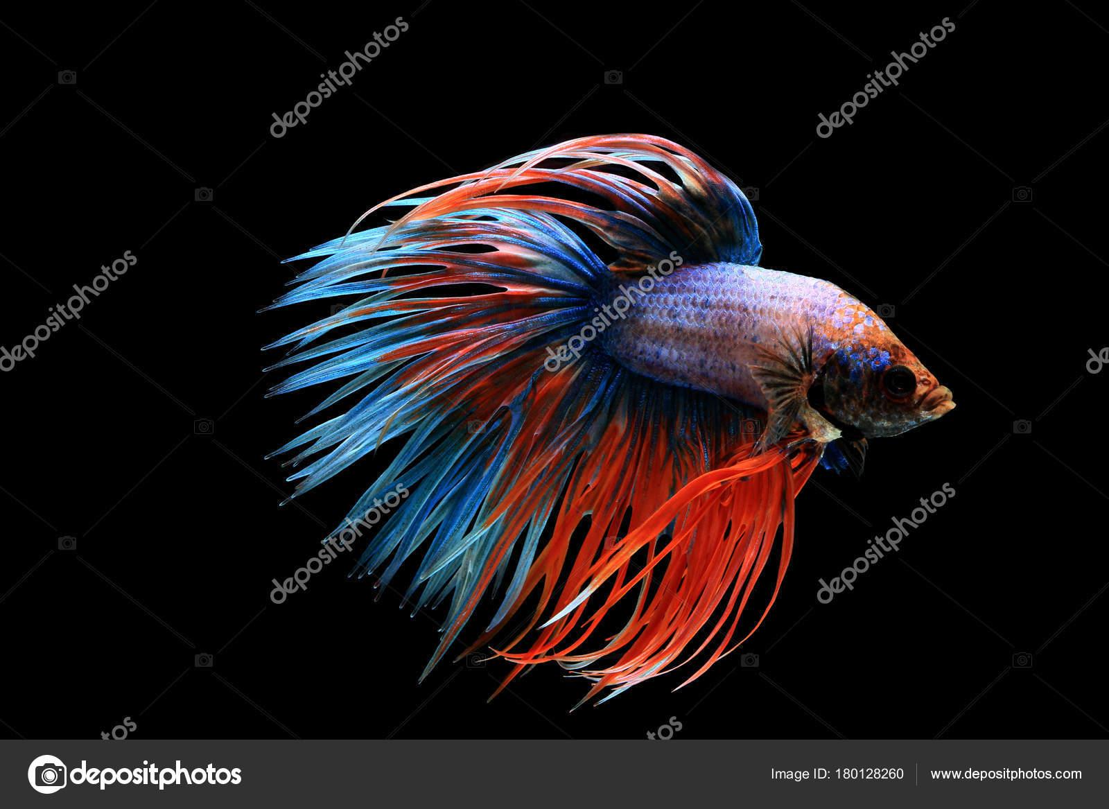 Betta fish, siamese fighting fish, betta splendens (crown tail ...
