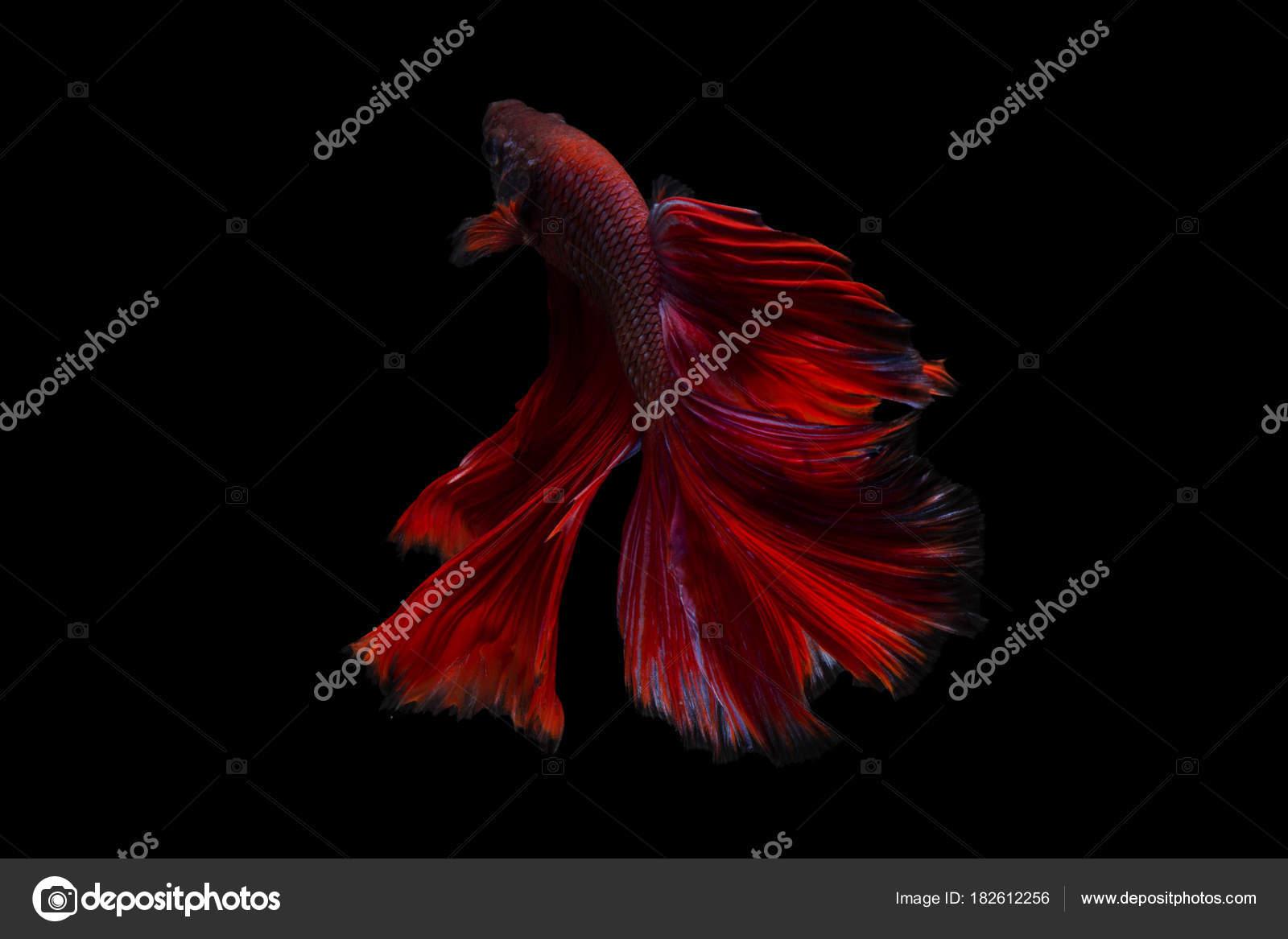 Betta fish, siamese fighting fish betta splendens (Halfmoon Red ...