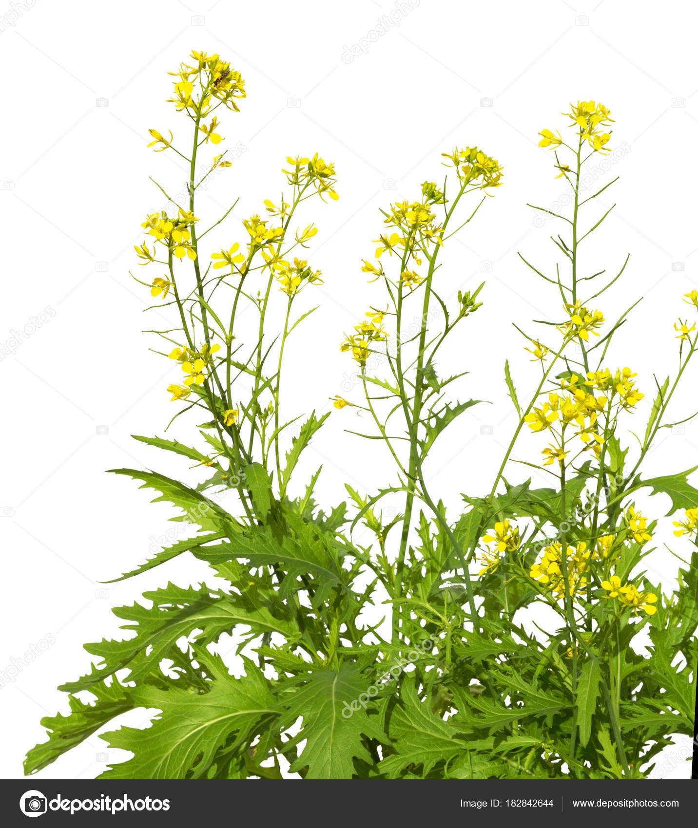 mustard plant flowering isolated on white background wild mustard flowers photo by romiri