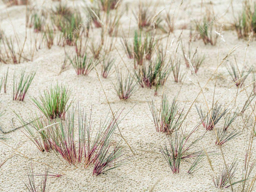 Clamps of dune grass - Slowinski National Park, Poland