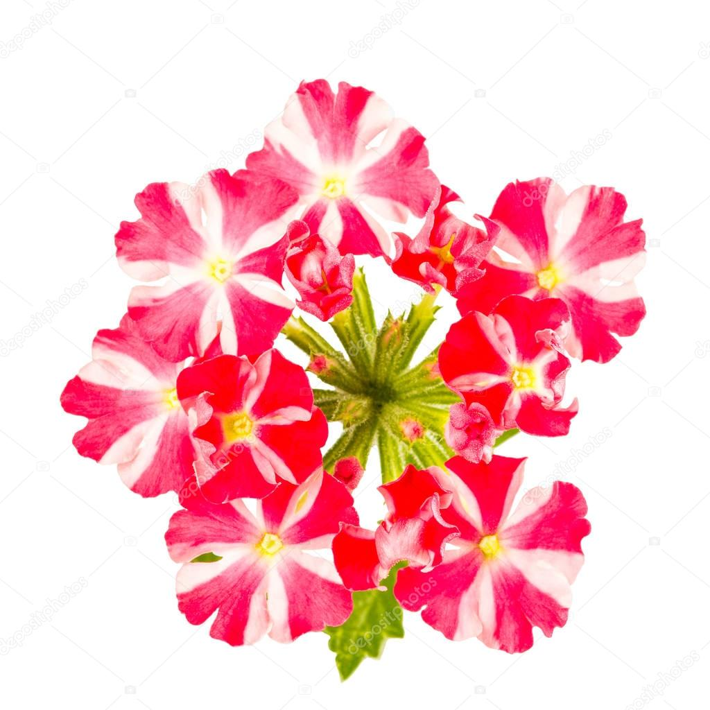 Red and white striped verbena flowers