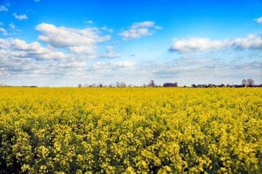 Blooming rapeseed field on a sunny day in early May near Wroclaw, Poland. Spring landscape.