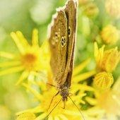 Prstenec Butterfly pít nektar