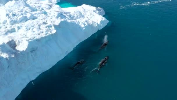 A bálna jéghegyekkel tör be a sarkvidéki természetben, jég borítja a jeges tájat. Púpos bálna. Légi felvétel a grönlandi Ilulissat-ból, vadon élő állatokkal, jéggel és jéghegyekkel.