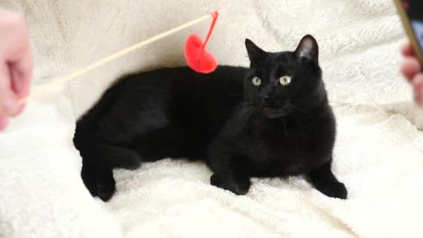 230635337f72 Μια μαύρη γάτα παίζει με ένα παιχνίδι καρδιά. 4k