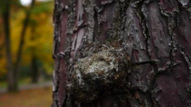 unusual bark of coniferous tree. close-up, texture of tree bark. slow motion, 4k