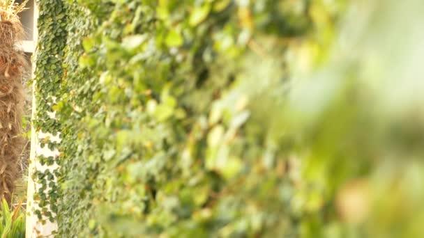 Zöld borostyán a falon. 4k, lassú mozgás