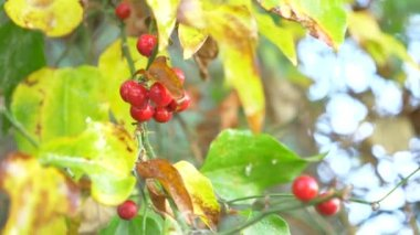 a branch of shisandra with red berries and leaves. 4k, close-up. a drop of water falling from a red berry. Slow motion