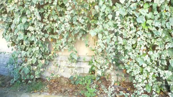 4k Wand aus grünen Efeublättern. Aktienhintergrund. der Wind bewegt die Blätter. Zeitlupe