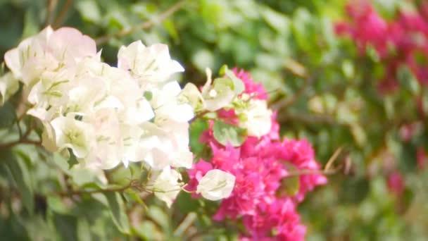 Eine weiße und rosa Blüten der Bougainvillea Baum im tropischen Park ...