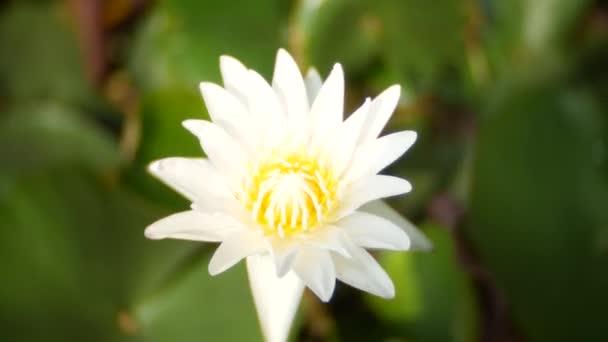 Közelről. fehér színű friss virág vagy tündérrózsa lótuszvirág a tó háttér virágzó. 4k, életlenítés háttér