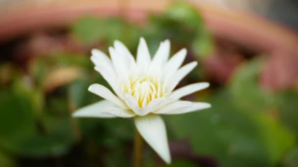 Zblízka. bílé barvy čerstvé Lotosový květ nebo Vodní lilie květ kvetoucí na pozadí rybníka. 4k, rozostřené pozadí