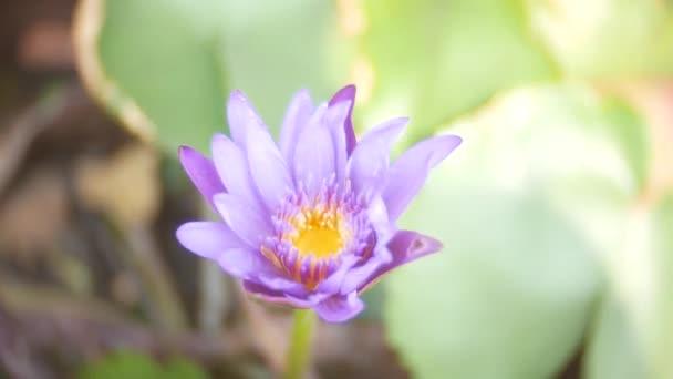 Zblízka. fialová barva čerstvé lotus květ nebo Vodní lilie kvetení na pozadí rybníka. 4k, rozostřené pozadí