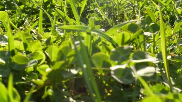 pozadí detail zelený jetel v trávě. zelená tráva, kymácející se ve větru na letní slunečný den. 4k, rozostření