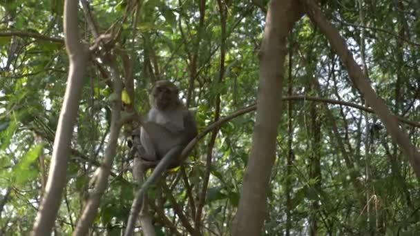 Asijské opice na stromě, v lese v přírodě. 4k, pomalý pohyb
